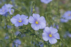 Blue flax flowers Royalty Free Stock Photos