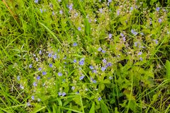 Blue flax flowers Linum austriacum on meadow royalty free stock image