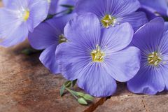 Blue flax flowers macro on an old wooden board Stock Photo