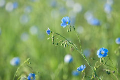 Blue Flax Flowers Royalty Free Stock Photography