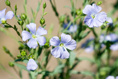 Blue flax flowers Royalty Free Stock Images