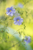 Blue flax flowers on soft green background. artistic image of flowers. Royalty Free Stock Image