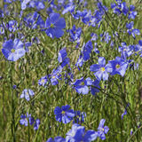 Blue Flax in grassy field Stock Image