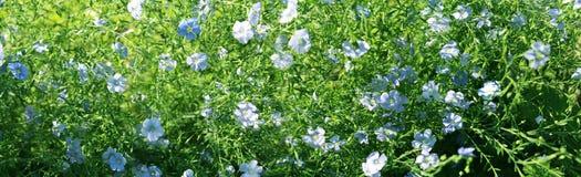 Blue flax. Panorama Stock Photos