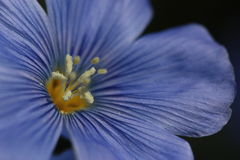 Blue Flax Up Close Stock Photos