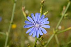 Blue, Flora, Chicory, Flower royalty free stock photography