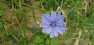 Blue, Flora, Chicory, Plant royalty free stock image