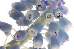 Blue floral buds Stock Images