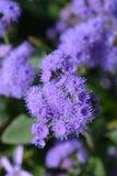 Blue flossflower stock images