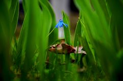 Blue flover. With brown leaf among green grass Stock Image