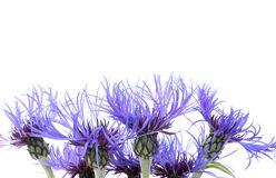 Blue Flower 1. Blue Flower Background, space for text Royalty Free Stock Image