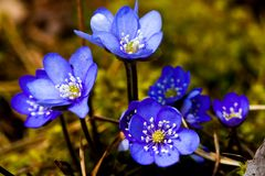 Blue flower. Liverleaf, blue anemon or hepatica nobili Stock Photography