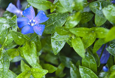 Blue flower. A wet blue flower green leaves Royalty Free Stock Photography