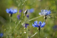 Blue flower. Green grass and blue flowers Stock Images
