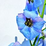 Blue Flower. Flower Royalty Free Stock Photography