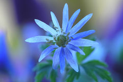 Blue flower Royalty Free Stock Photo
