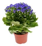 Blue flower. In a pot isolated over white Royalty Free Stock Photography