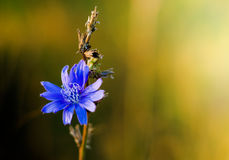 Blue flower. Chicory flower in sunset light royalty free stock images