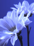 Blue flower. White flower on blue background Stock Photography