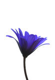Blue flower Stock Image