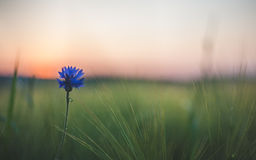 Free Blue Flower Stock Photography - 56014492