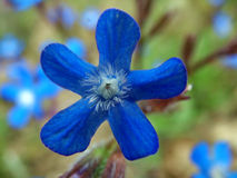 Blue Flower. In garden Royalty Free Stock Images