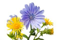 Blue flower. Wild blue flower in blossom Stock Image