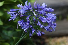Agapanthus flower head in bloom. The blue flower of the agapanthus royalty free stock image