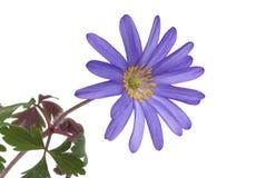 Blue flower anemone blanda. Isolated on white background royalty free stock photo