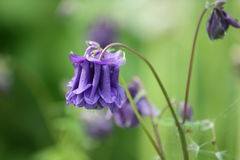 Blue flower of Aquilegia vulgaris. Royalty Free Stock Photography