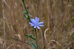 Blue flower on a background of grass Royalty Free Stock Photos