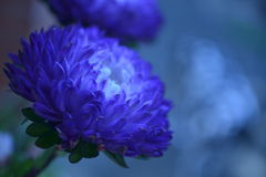 two vivid electric blue flowers pale-blue background Royalty Free Stock Photo