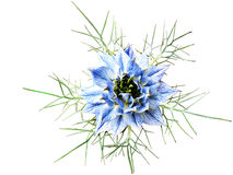 Blue flower. Beautiful blue flower on a white background stock photos