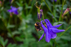 Blue flower bell with bumblebee Stock Image