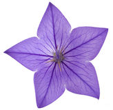 Blue flower bellflowers Stock Photos