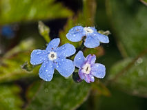 Blue flower Bergenia. In the garden around Moscow Royalty Free Stock Photo