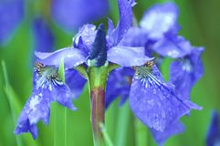 Blue flower in bloom Royalty Free Stock Images
