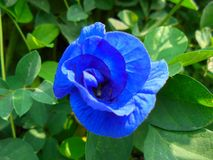 Blue pea flower stock images
