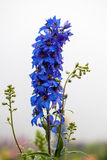 Blue flower blossom Royalty Free Stock Photography