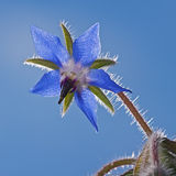 Blue flower Borago. In the garden around Moscow Royalty Free Stock Images