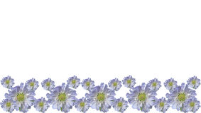 Blue flower border isolated on white background. Blue pincushion flower border isolated on white background Royalty Free Stock Photo