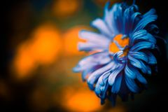 Blue flower bud Royalty Free Stock Images