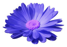 Blue flower calendula. the white isolated background with clipping path. Closeup. no shadows.  light violet center. Royalty Free Stock Images