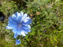 Blue flower. Chicory, closeup on grass background Stock Images