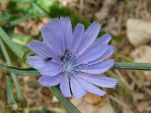 Blue flower of chicory Royalty Free Stock Image