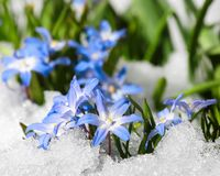 Flower Chionodoxa in the snow. Blue flower Chionodoxa  also known as glory-of-the-snow covered with snow after snowfall in the spring Royalty Free Stock Photos