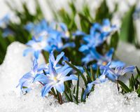 Flower Chionodoxa in the snow. Blue flower Chionodoxa  also known as glory-of-the-snow covered with snow after snowfall in the spring Stock Photos