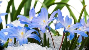 Chionodoxa in the snow. Blue flower Chionodoxa  also known as glory-of-the-snow covered with snow after snowfall in the spring Royalty Free Stock Images