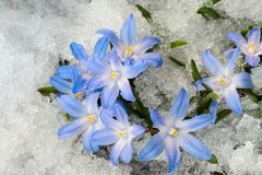 Chionodoxa in the snow. Blue flower Chionodoxa  also known as glory-of-the-snow covered with snow after snowfall in the spring Stock Photos