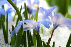 Chionodoxa. Blue flower Chionodoxa  also known as glory-of-the-snow covered with snow after snowfall in the spring Stock Photography